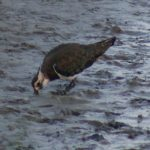 Lapwing looking for food